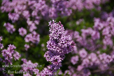 "Persian Laceleaf Lilac (Syringa x laciniata) Graceful foliage and form.  Small dainty leaves unlike any other lilac.  Profuse, fragrant, pale lavender flowers in loose, 3"" long panicles. Early season bloom.  Heat tolerant.  Cold hardy to USDA Zone 4."