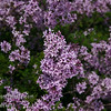 """Persian Laceleaf Lilac (Syringa x laciniata)<br /> Graceful foliage and form.  Small dainty leaves unlike any other lilac.  Profuse, fragrant, pale lavender flowers in loose, 3"""" long panicles. Early season bloom.  Heat tolerant.  Cold hardy to USDA Zone 4."""