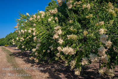 Summer Charm™ Tree Lilac (Syringa pekinensis 'DTR 124'  ) A small tree with very showy coppery bark and abundantly produced large white flowers in the spring. Useful as a single tree for a small yard or in groupings. Upright and spreading 20 ft. high, 15 ft. wide.  Lustrous dark green foliage in summer and yellow fall color.  Cold hardy to USDA Zone 3.