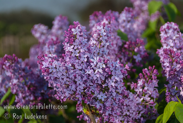 Sylvan Beauty Lilac