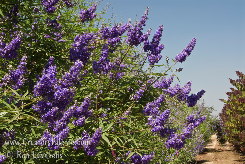 Vitex agnus-castus 'Cooke's Purple'<br /> Special selection with deeper and consistent purple flowers.  Broadly growing shrub with attractive clusters of colorful spikes in summer to fall.  Aromatic gray-green leaves.  Rapid grower in desert, slower in cooler areas.  Tolerates many types of soils and climates. Cold hardy to USDA Zone 6.