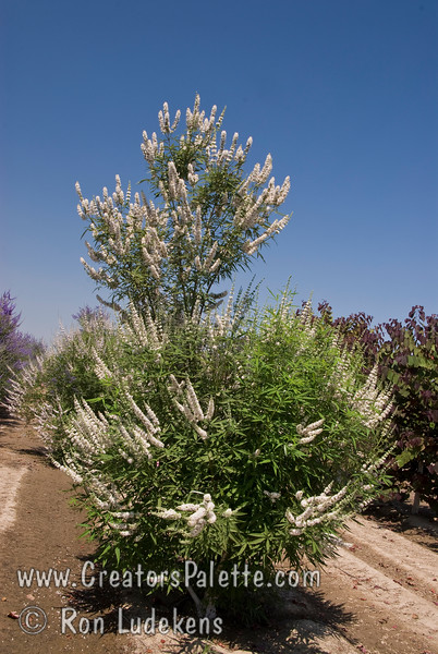 Vitex agnus-castus 'Cooke's White'<br /> Special selection with deeper and consistent white flowers.  Broadly growing shrub with attractive clusters of colorful spikes in summer to fall.  Aromatic gray-green leaves.  Rapid grower in desert, slower in cooler areas.  Tolerates many types of soils and climates. Cold hardy to USDA Zone 6.