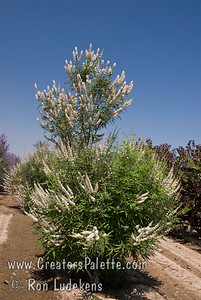 Vitex agnus-castus 'Cooke's White' Special selection with deeper and consistent white flowers.  Broadly growing shrub with attractive clusters of colorful spikes in summer to fall.  Aromatic gray-green leaves.  Rapid grower in desert, slower in cooler areas.  Tolerates many types of soils and climates. Cold hardy to USDA Zone 6.