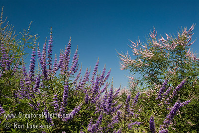Vitex agnus-castus 'Cooke's Blue Special selection with deeper and consistent blue flowers.  Broadly growing shrub with attractive clusters of colorful spikes in summer to fall.  Aromatic gray-green leaves.  Rapid grower in desert, slower in cooler areas.  Tolerates many types of soils and climates. Cold hardy to USDA Zone 6.