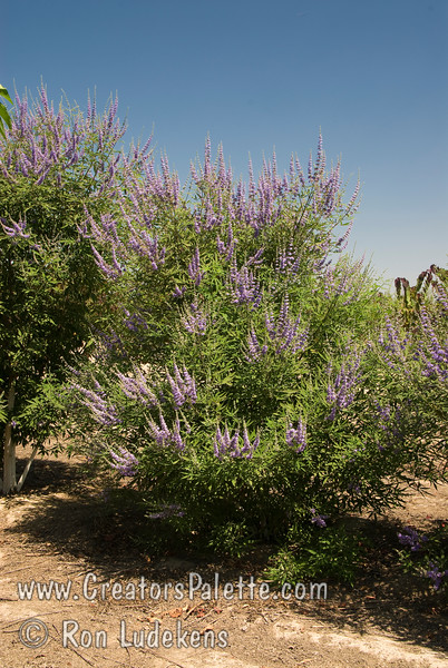Vitex agnus-castus 'Cooke's Blue<br /> Special selection with deeper and consistent blue flowers.  Broadly growing shrub with attractive clusters of colorful spikes in summer to fall.  Aromatic gray-green leaves.  Rapid grower in desert, slower in cooler areas.  Tolerates many types of soils and climates. Cold hardy to USDA Zone 6.