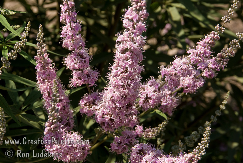 Vitex agnus-castus 'Cooke's Pink<br /> Special selection with deeper and consistent pink flowers.  Broadly growing shrub with attractive clusters of colorful spikes in summer to fall.  Aromatic gray-green leaves.  Rapid grower in desert, slower in cooler areas.  Tolerates many types of soils and climates. Cold hardy to USDA Zone 6.