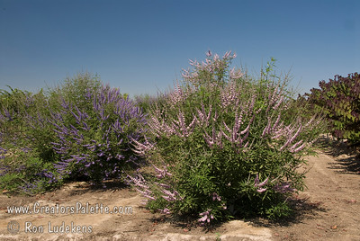 Vitex agnus-castus 'Cooke's Pink Special selection with deeper and consistent pink flowers.  Broadly growing shrub with attractive clusters of colorful spikes in summer to fall.  Aromatic gray-green leaves.  Rapid grower in desert, slower in cooler areas.  Tolerates many types of soils and climates. Cold hardy to USDA Zone 6.   (Cooke's Blue Vitex off too the left)