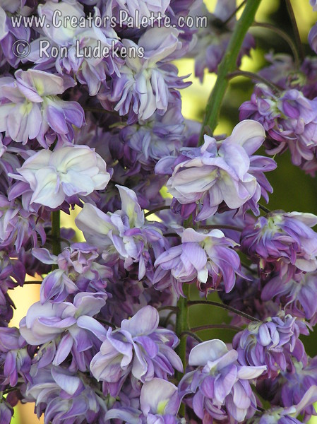 Wisteria floribunda 'Violacea Plena' - Black Dragon Wisteria (also known as Double Purple Wisteria Floribunda).  Lone racemes of dark, double purple blooms up to 18 inches long.  Blooms later in spring typical of floribunda varieties.  Vine will not flower when young.  Blooms best in full sun.