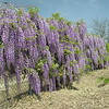 "Royal Purple Wisteria (Wisteria floribunda 'Violacea').  Sometimes called ""Single Black Dragon"".  Stunning display of single, dark purple flowers on long racemes.  Nice blotch of yellow in the center.  Sometimes called ""early-Maturing Wisteria floribunda"" because it flowers earlier in life and season compared to other W. floribunda."