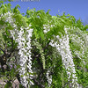 Wisteria brachybotrys 'Shiro Kapitan'<br /> Profuse white blooms explode in glorious spring splendor.  Panicles 12-15 inches long of thick white petals.