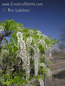 Wisteria brachybotrys 'Shiro Kapitan' Profuse white blooms explode in glorious spring splendor.  Panicles 12-15 inches long of thick white petals.