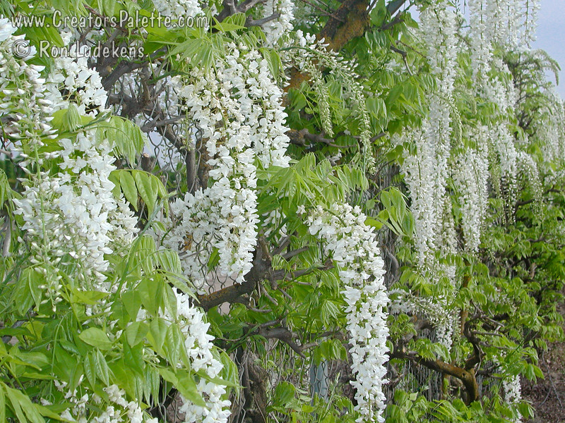 Wisteria floribunda 'Longissima Alba' (a.k.a. 'Shiro Noda' and 'Shiro Naga')<br /> Impressive sight with the pure white flowers that cascade in spikes up to 4 feet long.  Vigorous growing deciduous vine displays bright green compound foliage.