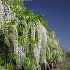 Wisteria floribunda 'Longissima Alba' (a.k.a. 'Shiro Noda' and 'Shiro Naga')<br /> Impressive sight with the pure white flowers that cascade in spikes up to 4 feet long.  Vigorous growing deciduous vine displays bright green compound foliage.