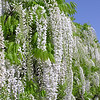 "Wisteria floribunda 'Longissima Alba' (a.k.a. 'Shiro Noda' and 'Shiro Naga') : These photo galleries have been provided to allow Nurseries and other plant enthusiasts obtain quality photos for your websites and printed publications.  Only you know the look and feel you want to obtain, so it is best that you select the photos that work best for your application as opposed to a L.E. Cooke Co staff person choosing for you.  Select the photo, click on ""buy this photo"" then select ""Downloads"".  There is a nominal cost for the file to support this website."