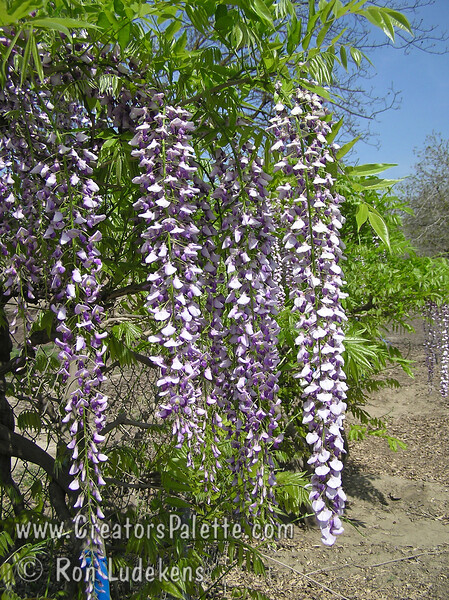 Wisteria floribunda 'Longissima Kyushaku'<br /> Mauve purple blossoms in long racemes.  Likely has the longest cluster length.  Older plants can bear racemes in excess of 6 feet long.  May not flower the first couple of years.