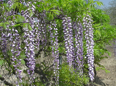 Wisteria floribunda 'Longissima Kyushaku' Mauve purple blossoms in long racemes.  Likely has the longest cluster length.  Older plants can bear racemes in excess of 6 feet long.  May not flower the first couple of years.