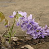 Wisteria sinensis 'Blue'<br /> I am always amazed to see how certain Wisteria bloom so early in life.  Here you see a newly budded wisteria vine and the first thing that grows is a new bloom.  Not all Wisteria do this but most Wisteria sinensis do.   This is Blue Wisteria Sinensis - it always blooms first year.