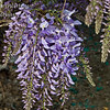 Wisteria sinensis 'Blue'<br /> Impressive spring show of large, purplish-blue flowers.  Long racemes of fragrant flowers cover this vine in the spring.