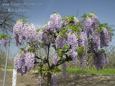 Wisteria sinensis 'Blue' Impressive spring show of large, purplish-blue flowers.  Long racemes of fragrant flowers cover this vine in the spring.
