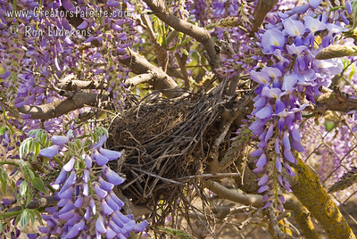 Wisteria sinensis 'Blue' Impressive spring show of large, purplish-blue flowers.  Long racemes of fragrant flowers cover this vine in the spring. This photo includes a bird's nest.