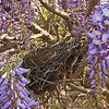 Wisteria sinensis 'Blue'<br /> Impressive spring show of large, purplish-blue flowers.  Long racemes of fragrant flowers cover this vine in the spring.<br /> This photo includes a bird's nest.