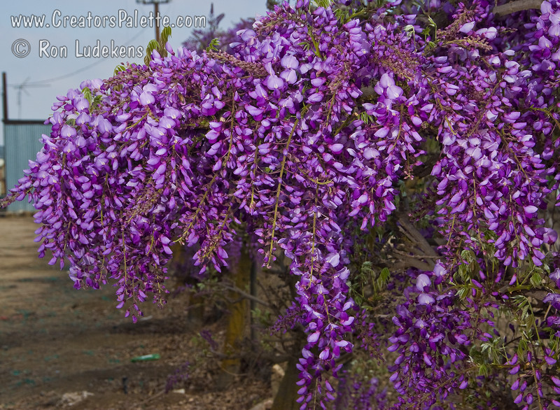 Wisteria sinensis 'Caroline'<br /> Delightful spring display of showy, purple blossoms.  Long racemes of fragrant flowers cover this vine in early spring.
