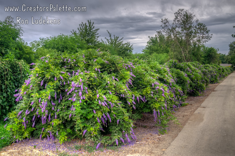 "Wisteria sinensis ""Cooke's Purple"" - Cooke's Special Purple Wisteria<br /> This photo taken on July 1st shows the unique summer bloom on this variety.  Impressive show of large, fragrant, beautiful purple blossoms on long racemes covering vines in early spring.  This variety is unique in that it gives smaller spikes of purple blooms during the summer months."