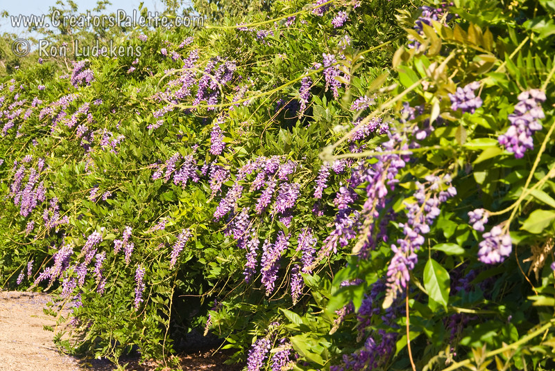 "Wisteria sinensis ""Cooke's Purple"" - Cooke's Special Purple Wisteria<br /> This photo taken on July 3rd shows the unigue summer bloom on this variety.  Impressive show of large, fragrant, beautiful purple blossoms on long racemes covering vines in early spring.  The unique smaller spikes of purple blooms during the summer months makes this variety out-sell all other varieties combined."