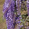 "Wisteria sinensis ""Cooke's Purple"" - Cooke's Special Purple Wisteria<br /> Impressive show of large, fragrant, beautiful purple blossoms on long racemes covering vines in early spring.  This variety is unique in that it gives smaller spikes of purple blooms during the summer months."