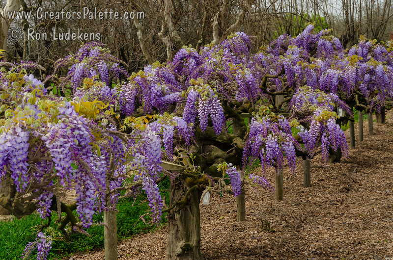 """Wisteria sinensis """"Cooke's Purple"""" - Cooke's Special Purple Wisteria<br /> Impressive show of large, fragrant, beautiful purple blossoms on long racemes covering vines in early spring.  This variety is unique in that it gives smaller spikes of purple blooms during the summer months."""