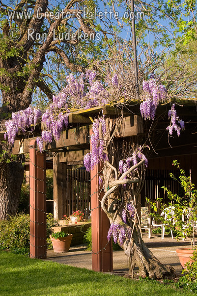 Cooke's Special Purple Wisteria lining arbor - patio cover at the Bennetts Ranch in Visalia, CA.