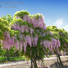 Wisteria sinensis x floribunda 'Rosea Beni Fugi' - Pink Wisteria<br /> Large beautiful clusters of pink blossoms adorn this vine in early spring.  Blooms best in full sun.  Blooms after W. Sinensis but before W. floribunda.  May not bloom first year planted.