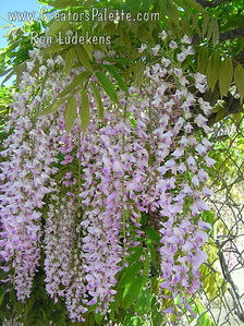 Wisteria sinensis x floribunda 'Rosea Beni Fugi' - Pink Wisteria Large beautiful clusters of pink blossoms adorn this vine in early spring.  Blooms best in full sun.  Blooms after W. Sinensis but before W. floribunda.  May not bloom first year planted.