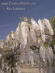 Wisteria sinensis 'Texas White' - Texas White Wisteria Bold and beautiful white blossoms cover this vine in early spring.  Showy, long fragrant racemes appear before leaves.