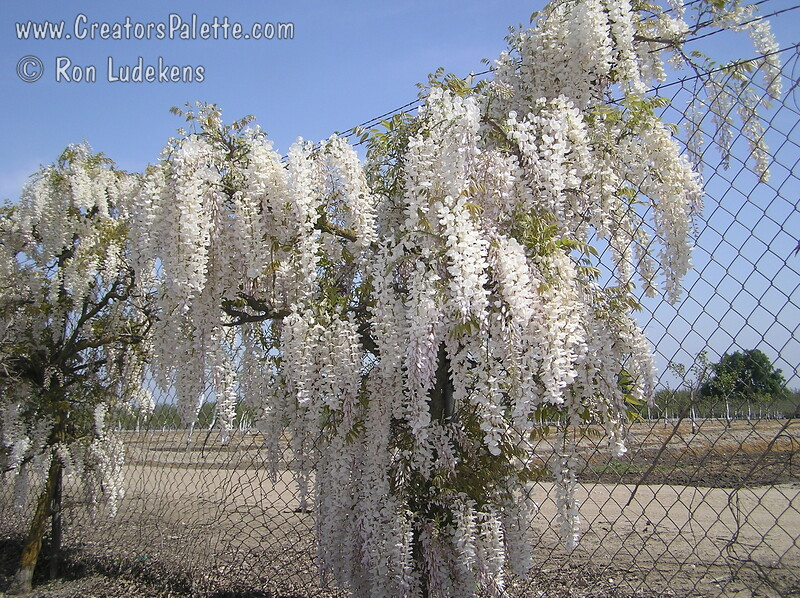 Wisteria sinensis 'Texas White' - Texas White Wisteria<br /> Bold and beautiful white blossoms cover this vine in early spring.  Showy, long fragrant racemes appear before leaves.