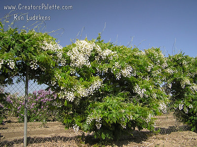 Wisteria venusta `Alba' (White Venusta) Flowers are white, very large, and grow in short heavy clusters that open all at once. Very profuse bloom when leaves begin to open in mid spring. Broad leaves and silky leaflets.