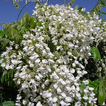 Wisteria venusta 'Alba' - Silky White Wisteria