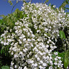 Wisteria venusta `Alba' (White Venusta)<br /> Flowers are white, very large, and grow in short heavy clusters that open all at once. Very profuse bloom when leaves begin to open in mid spring. Broad leaves and silky leaflets.