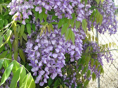 Wisteria venusta 'Violacea' - Purple Venusta Wisteria Strongly scented, blue-violet flowers adorn this lovely vine in early spring.  Flower racemes reach lengths of 12-18 inches.