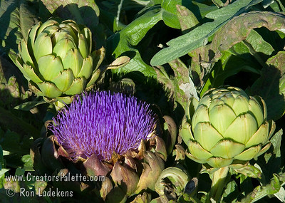Improved Green Globe Artichoke - Cynara scolymus Flowers on plants in this September 21st photo. Popular vegetable also good for landscaping with fountain like look, 3-4 ft. high, with a 6 ft. diameter.  Perennial crop with yield over a long period of time in fall or spring depending upon location.  Flowers popular for dried flower arrangements.