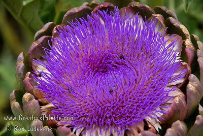 Improved Green Globe Artichoke Flower (Cynara scoymus) in October. Artichoke flowers are often dried and put in dried flower arrangements.
