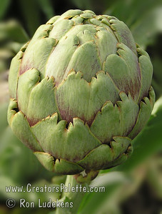 Improved Green Globe Artichoke - Cynara scolymus Popular vegetable also good for landscaping with fountain like look, 3-4 ft. high, with a 6 ft. diameter.  Perennial crop with yield over a long period of time in fall or spring depending upon location.  Flowers popular for dried flower arrangements.