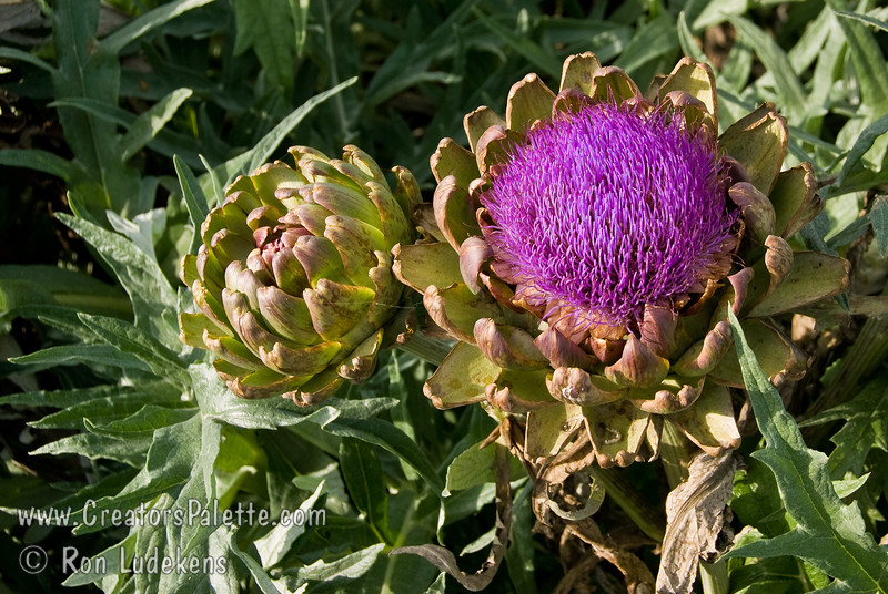 Improved Green Globe Artichoke Flower (Cynara scoymus) in October.<br /> Artichoke flowers are often dried and put in dried flower arrangements.<br /> Popular vegetable also good for landscaping with fountain like look, 3-4 ft. high, with a 6 ft. diameter.  Perennial crop with yield over a long period of time in fall or spring depending upon location.