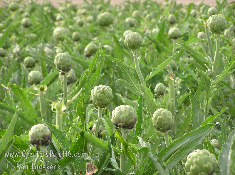 Improved Green Globe Artichoke - Cynara scolymus<br /> Popular vegetable also good for landscaping with fountain like look, 3-4 ft. high, with a 6 ft. diameter.  Perennial crop with yield over a long period of time in fall or spring depending upon location.  Flowers popular for dried flower arrangements.