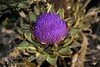 Improved Green Globe Artichoke - Cynara scolymus<br /> Flowers on plants in this September 21st photo.<br /> Popular vegetable also good for landscaping with fountain like look, 3-4 ft. high, with a 6 ft. diameter.  Perennial crop with yield over a long period of time in fall or spring depending upon location.  Flowers popular for dried flower arrangements.