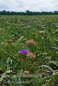 Improved Green Globe Artichoke Flower (Cynara scoymus) in October. Artichoke flowers are often dried and put in dried flower arrangements.