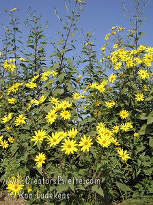 Jerusalem Artichoke - Helianthus tuberosus Photo show the attractive sunflower- like summer blooms.  Edible part is the root (tuber) not the flower or seeds. A perennial.  Produces edible tubers which are good fresh, in salads, boiled or in soups.  Plants resemble a small sunflower.  Plants are good for landscaping, making a high hedge in one growing season.  Ready to harvest in late fall.