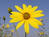 Jerusalem Artichoke - Helianthus tuberosus<br /> Photo show the attractive sunflower- like summer blooms.  Edible part is the root (tuber) not the flower or seeds.<br /> A perennial.  Produces edible tubers which are good fresh, in salads, boiled or in soups.  Plants resemble a small sunflower.  Plants are good for landscaping, making a high hedge in one growing season.  Ready to harvest in late fall.