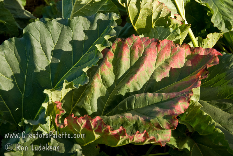 Victoria Rhubarb (Rheum rhabarbarum) grown from seed (F2).<br /> Foliage showing a little fall color in this early October photo.