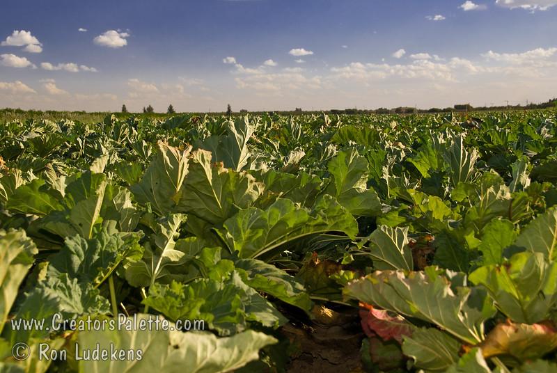 Field of Victoria Rhubarb (Rheum rhabarbarum) grown from seed (F2).